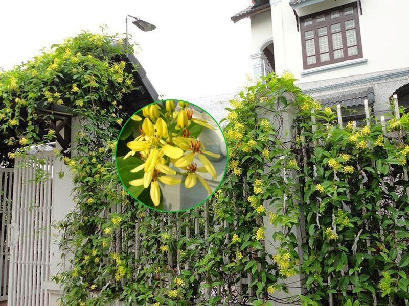 Trồng giàn hoa leo là phương pháp tự nhiên giúp làm mát mái nhà.